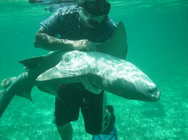 Veel tours bieden aan om met haaien te knuffelen